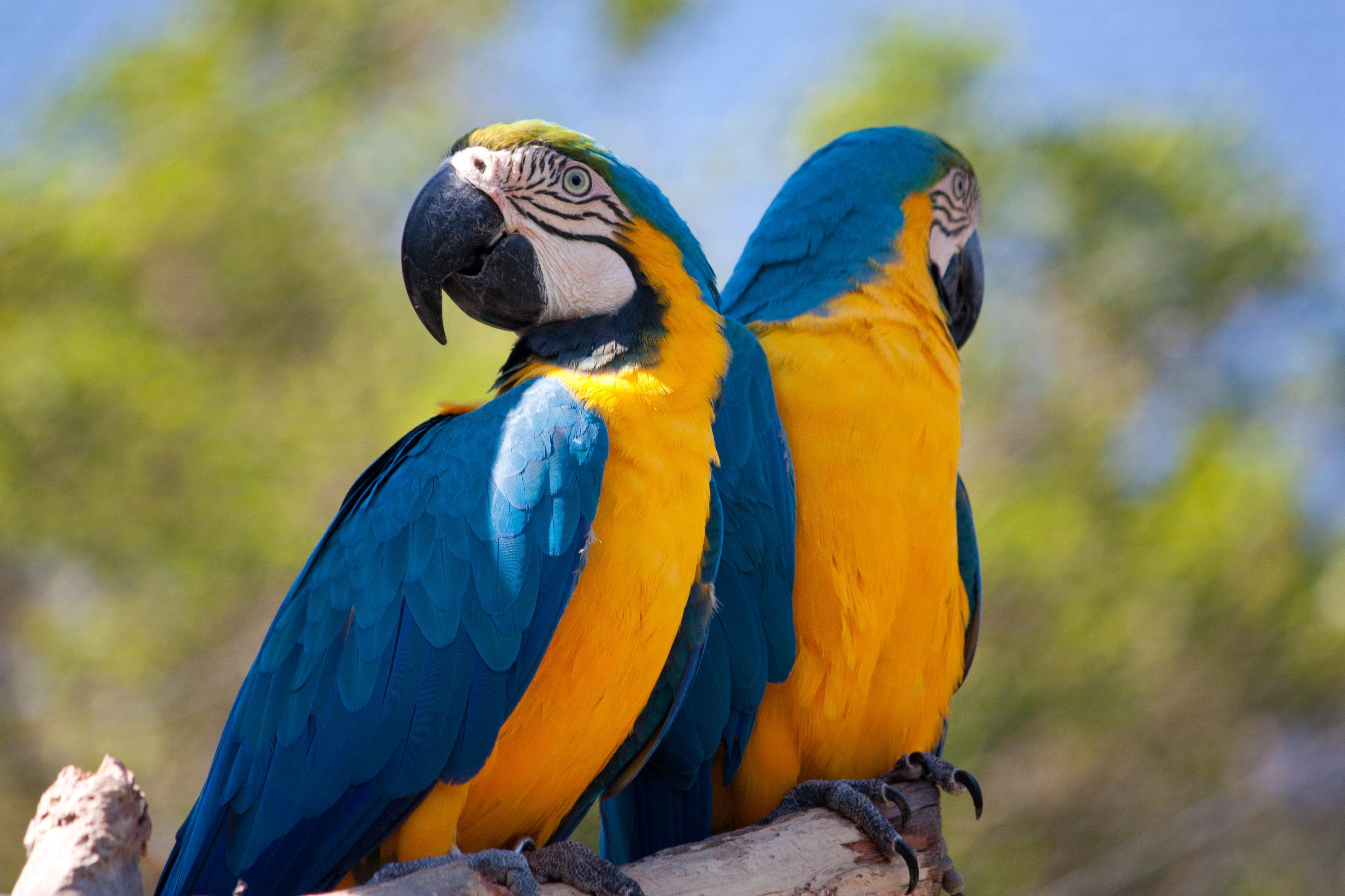 Попугай Ара - виды, описание