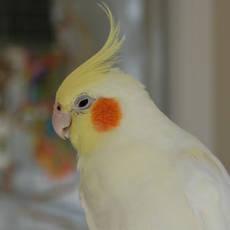 Попугай Корелла - описание