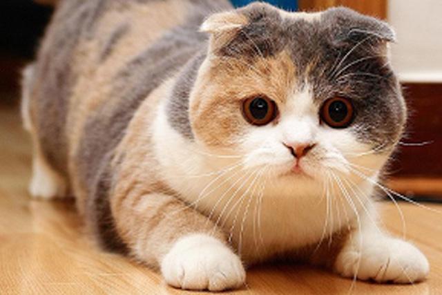 Шотландская вислоухая кошка - порода, описание
