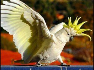 Попугай Какаду - виды, описание, характеристики