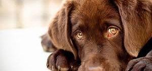 заворот век у собак