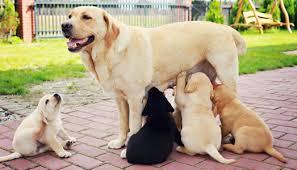 кормление беременных собак