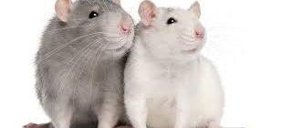 заболевания крыс