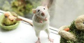 кожные заболевания у крыс