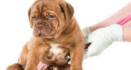 миокардоз у собак